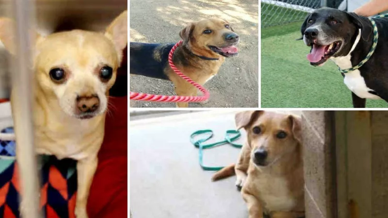 MCACC is having free adoptions for dogs over 20 pounds at both shelters. (Source: Maricopa County Animal Care and Control)