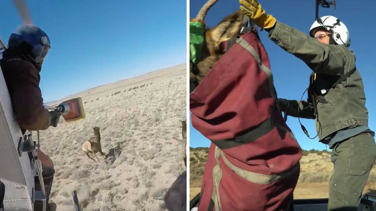 Elk capture conducted east of Flagstaff. 26 Jan. 2018 (Source: AZGFD)