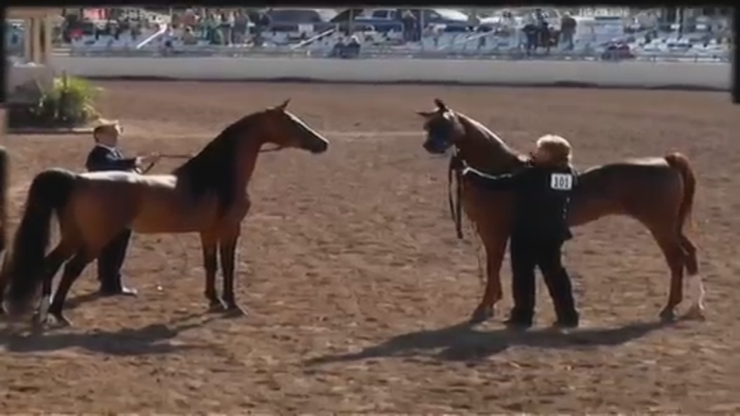 The show will feature thousands of different horses. (Source: Arabian Horse Association of Arizona)