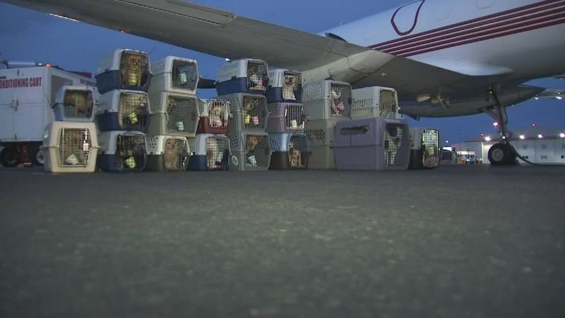 "In this file photo, 110 at-risk shelter pets were flown from Phoenix in July to Seattle during the ""Freekibble Flight to Freedom."" (Source: 3TV/CBS 5)"