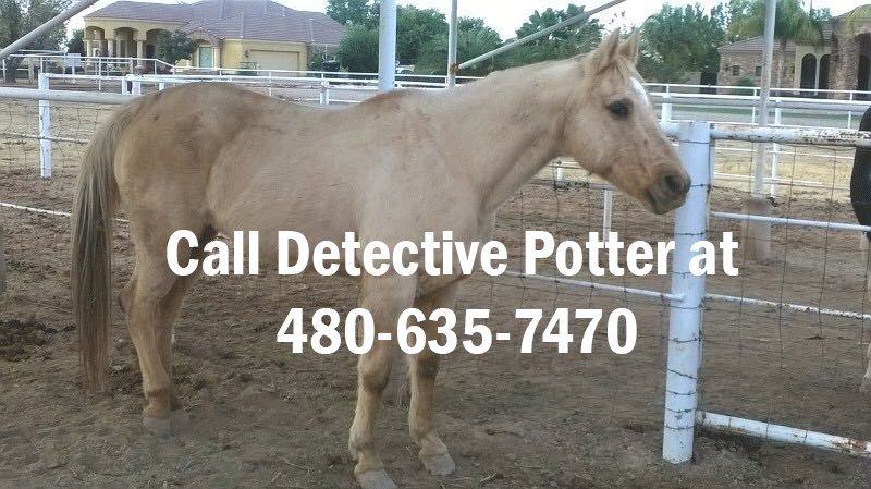 Susie the horse was found with a gunshot wound on her side by her owners last month. (Source: Gilbert Police).