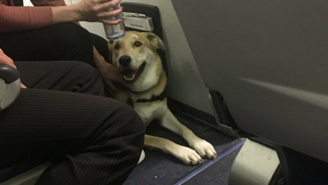 A man says a service dog onboard a Southwest flight from Phoenix to Portland last night hurt a child. (Source: Todd Rice)