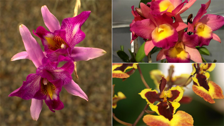 (Source: Desert Valley Orchid Society)
