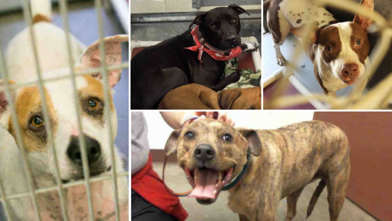 Dogs over 20 pounds will go home for free this weekend at Maricopa County Animal Care and Control (Source: Maricopa County Animal Care and Control)
