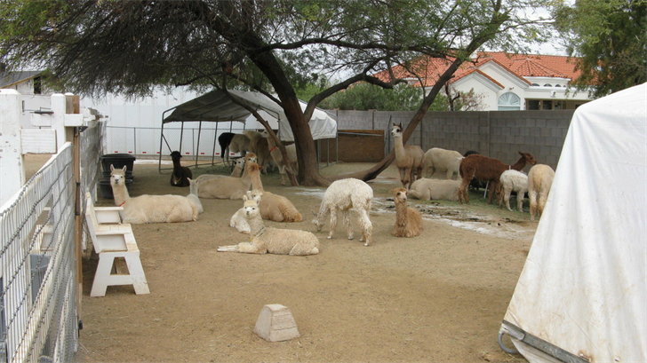 Alpaca were in the yard of a Paradise Valley home. (Source: 3TV/CBS 5)