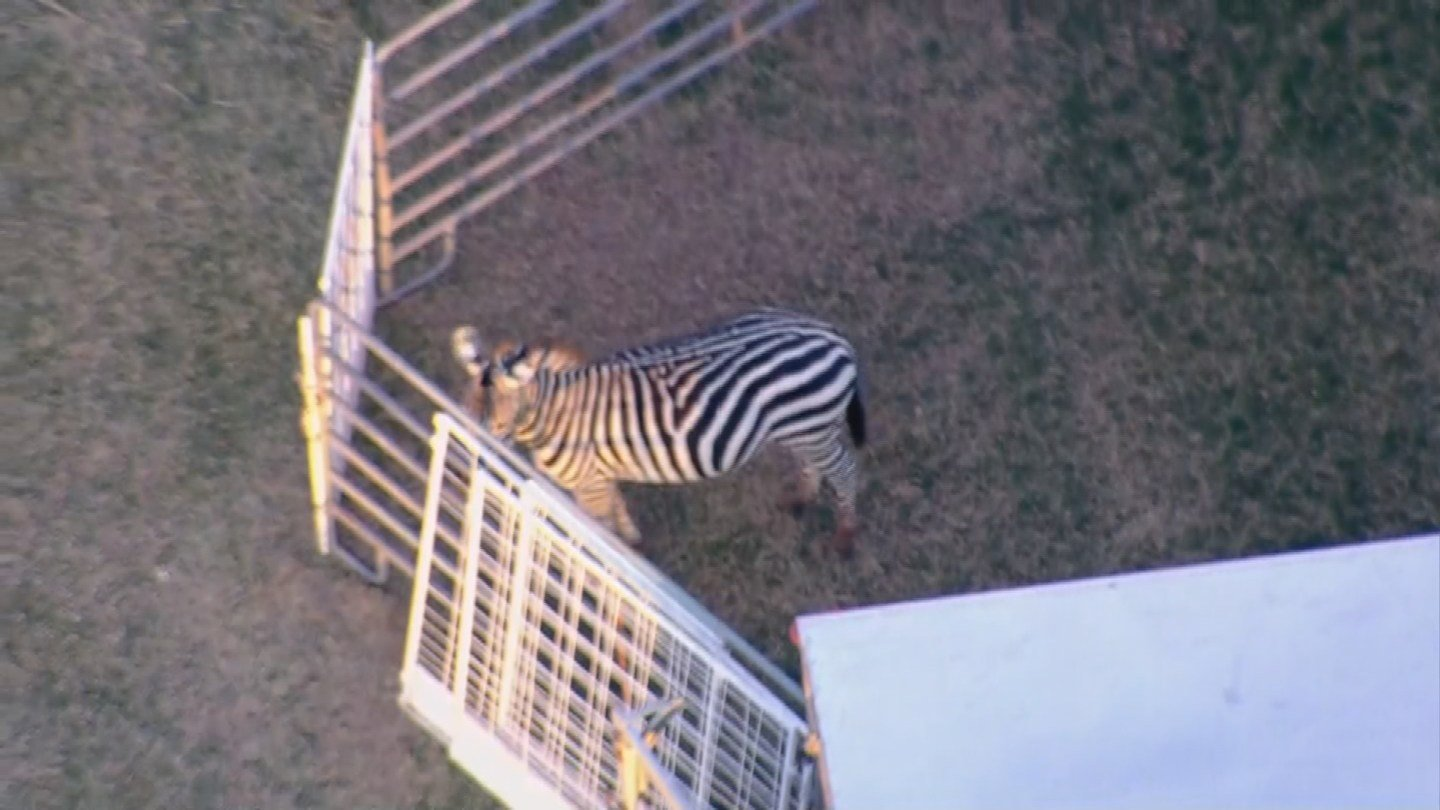 A zebra in a pen at the Chandler Ostrich Festival on Wednesday morning. (Source: 3TV/CBS 5)