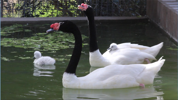 New baby black-necked swans are hatched at the Wildlife World Zoo (Source: Wildlife World Zoo, Aquarium & Safari Park)