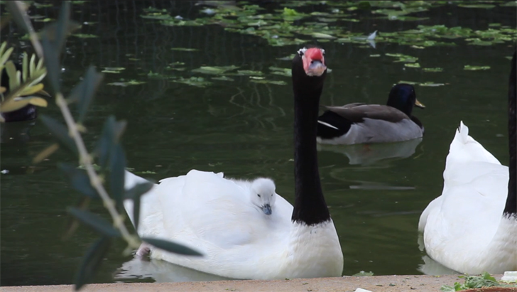 Baby black-necked swan rides on parent's back. (Source: Wildlife World Zoo, Aquarium & Safari Park)