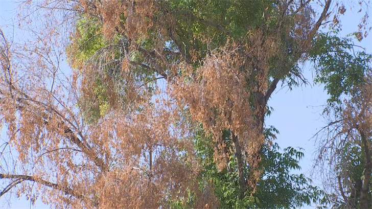 The City of Phoenix tells us they are monitoring the Aleppo Pine blight. (Source: 3TV/CBS 5)