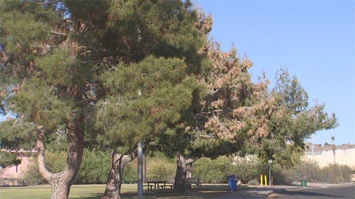 The Aleppo Pine blight is Valley-wide, and is not restricted to city parks, the City said. (Source: 3TV/CBS 5)