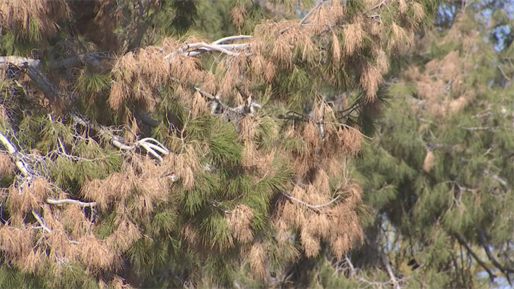 Multiple agencies are trying to figure out what's causing the Aleppo Pine blight. (Source: 3TV/CBS 5)