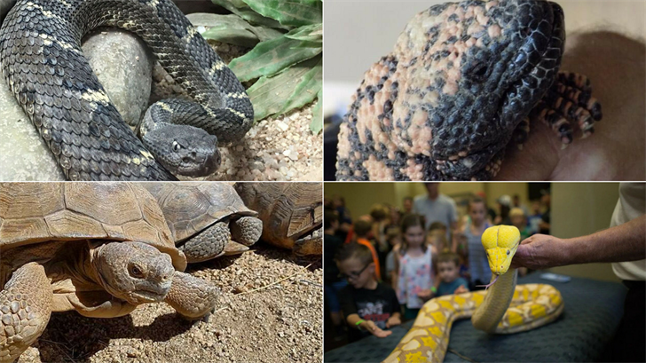 You can see plenty of reptiles at the expo like rattlesnakes, Gila Monsters and more. (Source: Phoenix Herpetological Society)