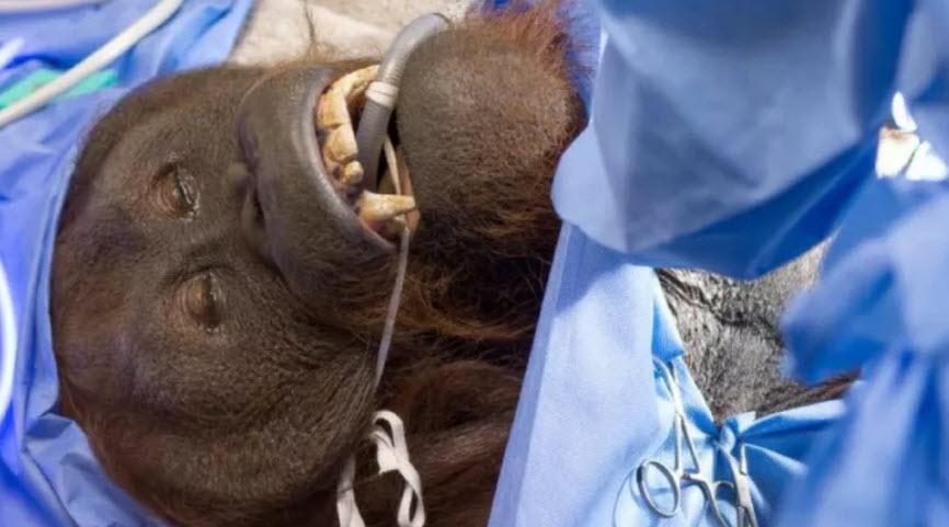 Daniel underwent surgery in March (Source: The Phoenix Zoo)