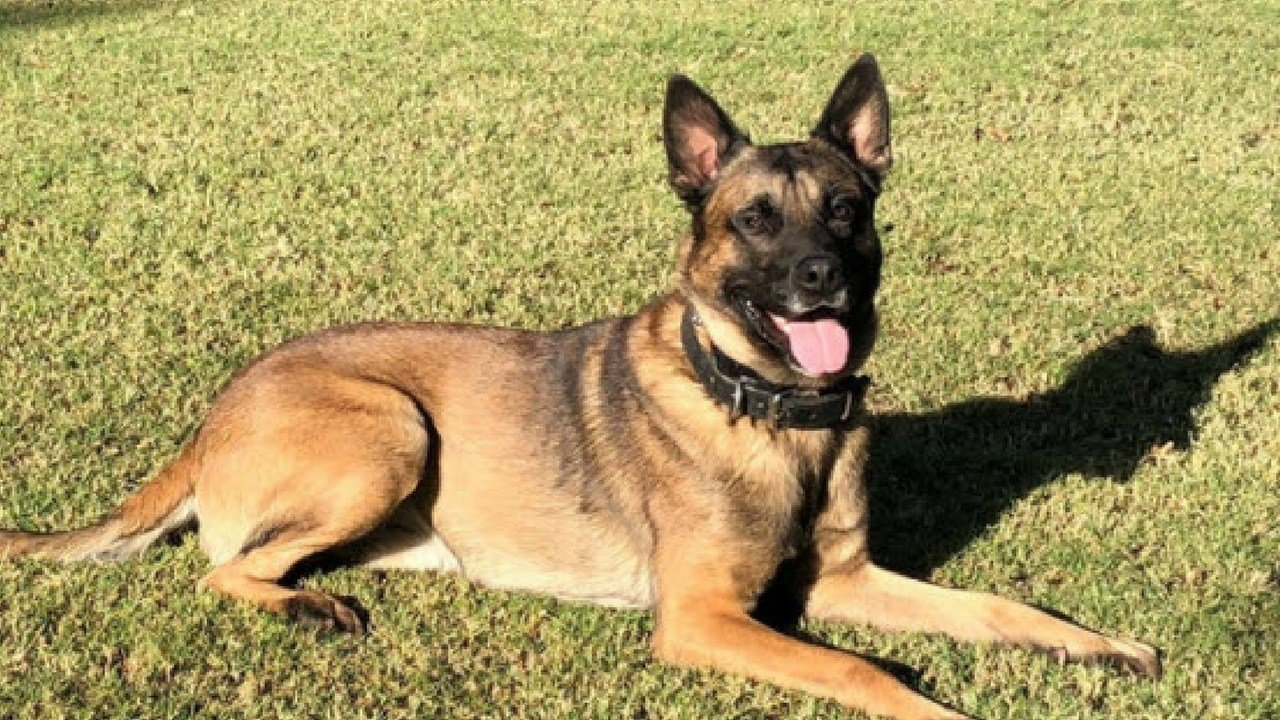 Bane, the police dog was killed in the line of duty (Source: 3TV/CBS 5)