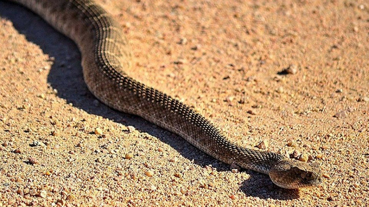 Rattlesnake sunning itself along side the road. (Source: Eric Zotcavage)