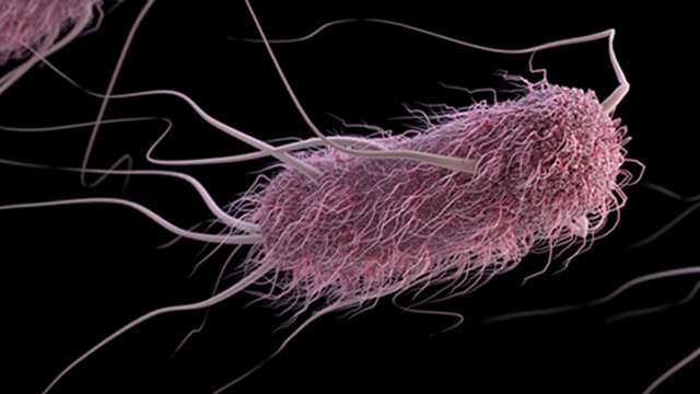 Escherichia coli (abbreviated as E. coli) are bacteria found in the environment, foods, and intestines of people and animals. E. coli are a large and diverse group of bacteria. (Source: CDC)
