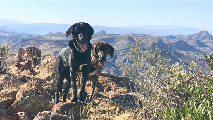 'Calvin' and 'Hobbs' were found stuck on top of Picket Post Mountain in Superior, AZ last weekend. (Source: Maricopa County Animal Care and Control)