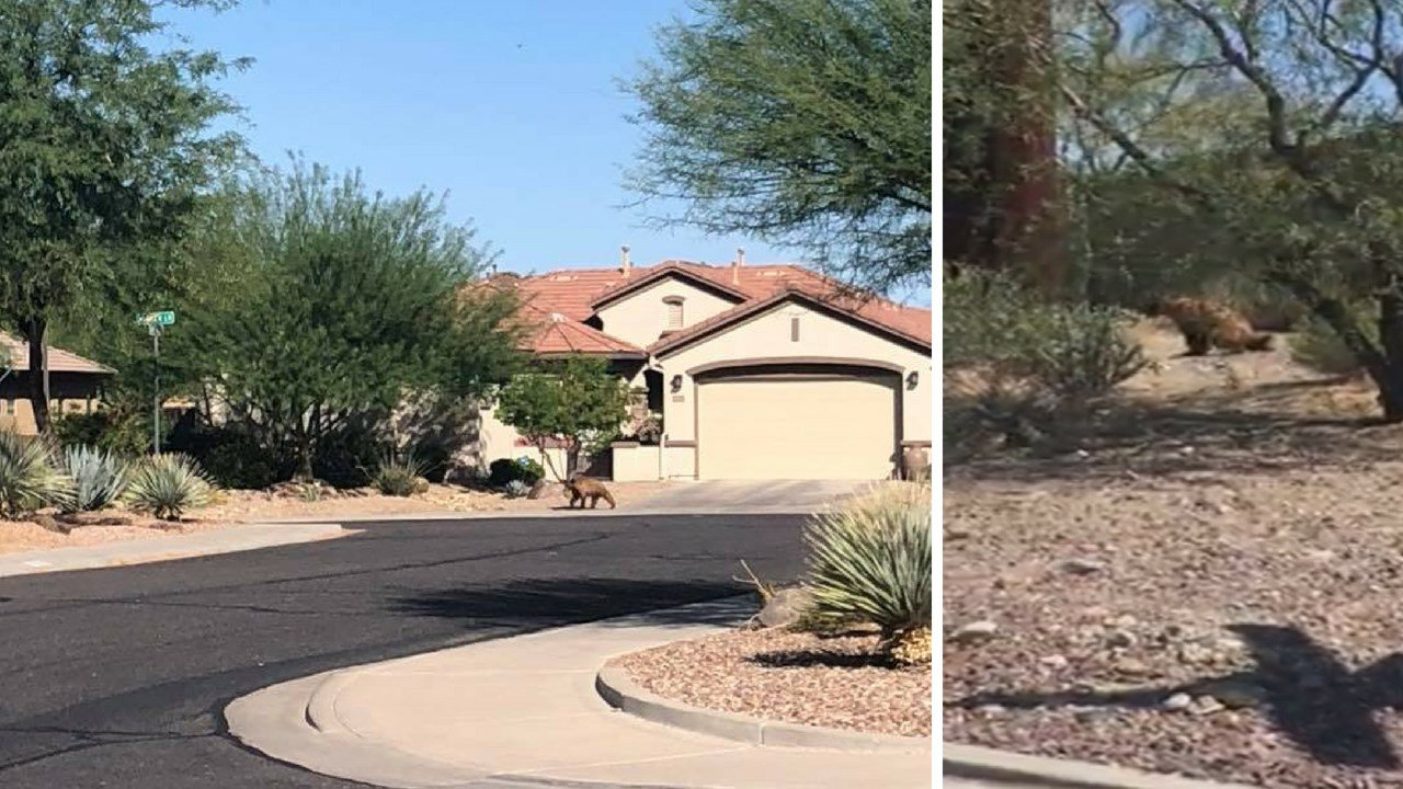 A young bear was seen in Anthem Monday. (Source: Karen Dill)