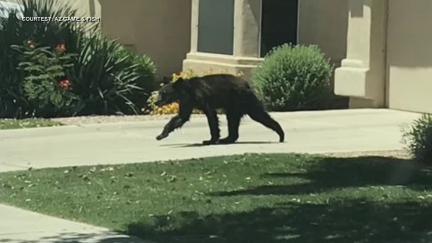 Officials expect more bears to come to the Valley, blaming the drought for limiting the resources in their natural habitat. (Source: AZ Game & Fish)