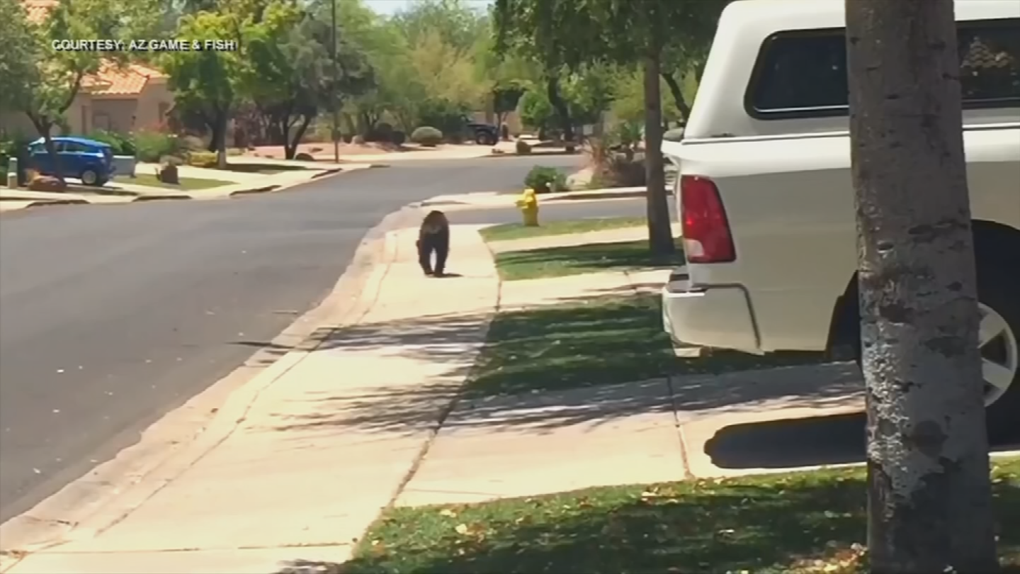 Experts are not surprised to see two black bears in less than two weeks. (Source: 3TV/CBS 5)