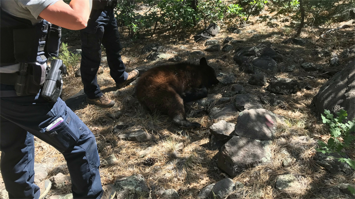 A bear was euthanized after trying to break into homes in Munds Park. (Source: John Hollas)
