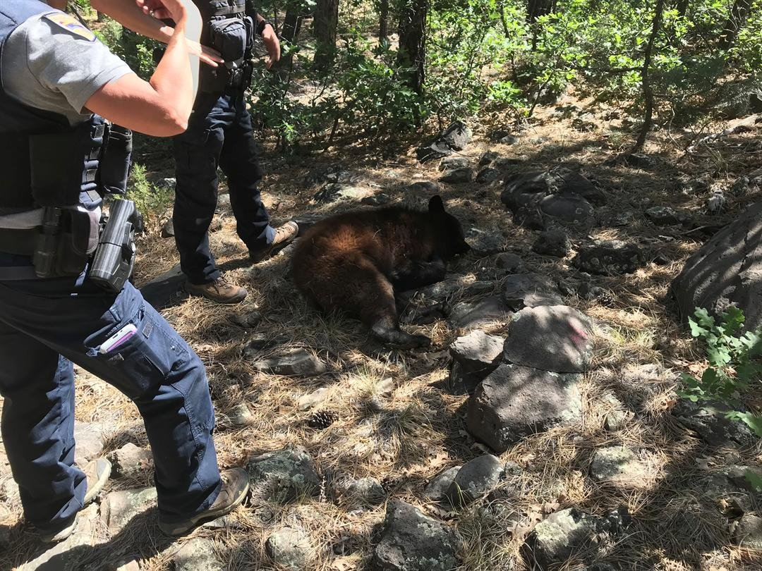 The bear was euthanized because it was a danger to residents, Game and Fish said. (Source: John Hollas)