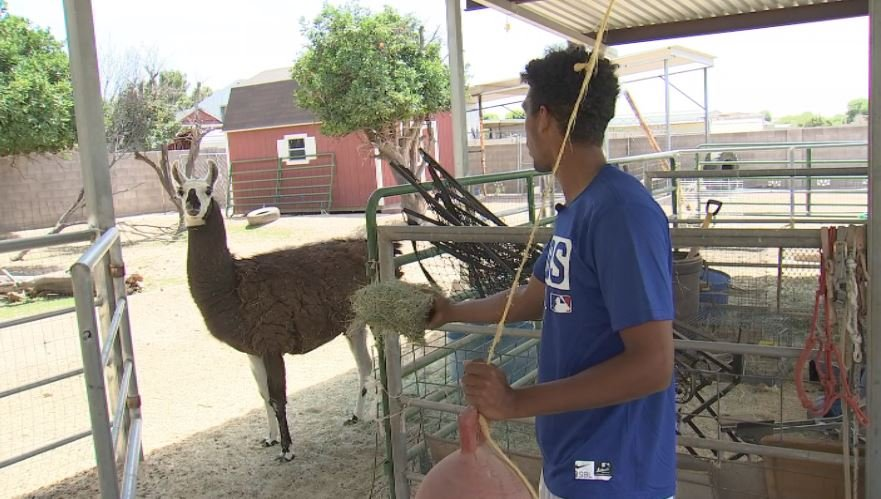 At home, Brennen Davis has bails hay to feed his pet llamas, Marco and Polo. (Source: 3TV/CBS 5)