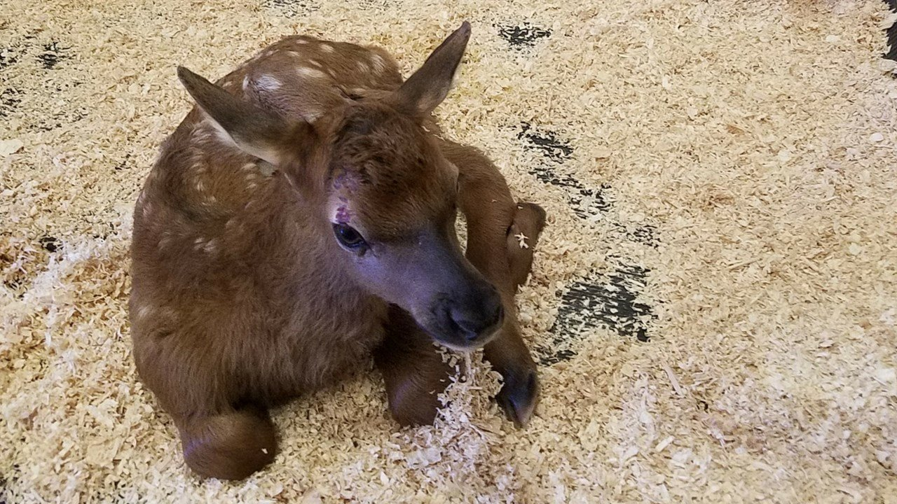 This baby elk is receiving treatment at Bearizona after a rough start in life. (Source: Bearizona)