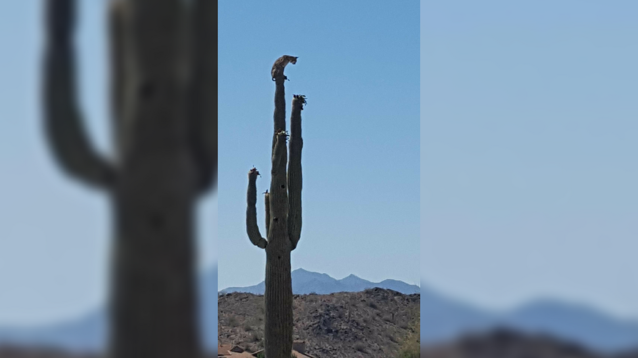 A bobcat was seen perched on a giant cactus in Buckeye. (Source: Philip Houck and Doug Carter)
