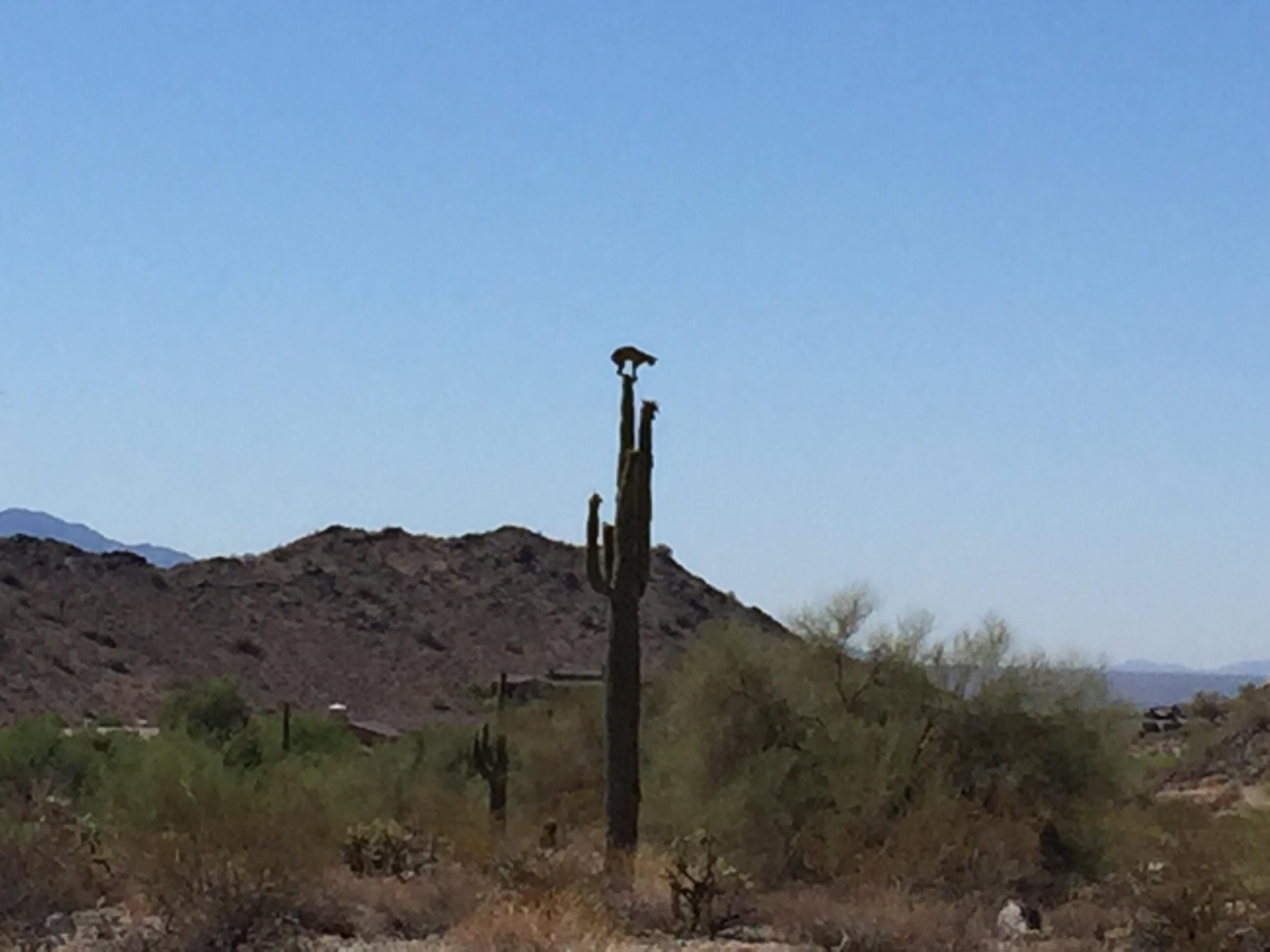 A wide view of a bobcat on top of a cactus. (Source: Philip Houck and Doug Carter)