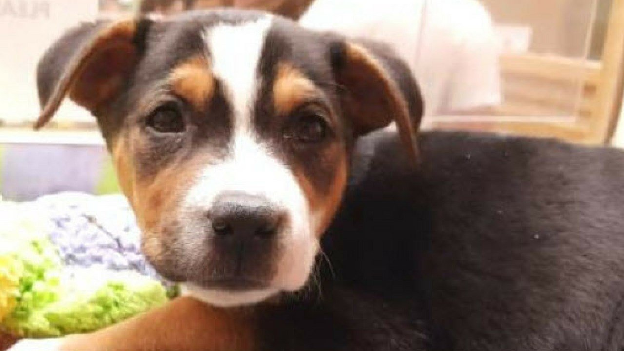 Everglades, the stolen (and then returned!) puppy has been adopted. (Source: AAWL)