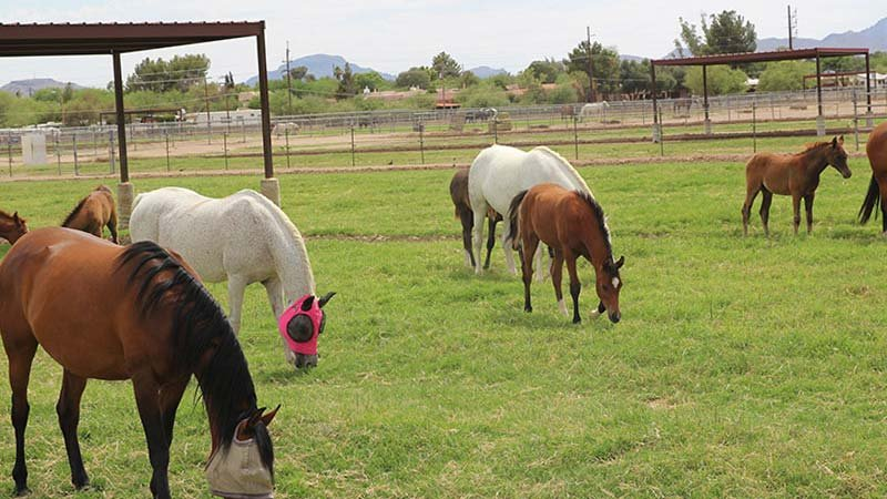 Students in the Race Track Industry Program work hands-on with the horses at the University of Arizona's Equine Center. (Source: Margaret Naczek/Cronkite News)