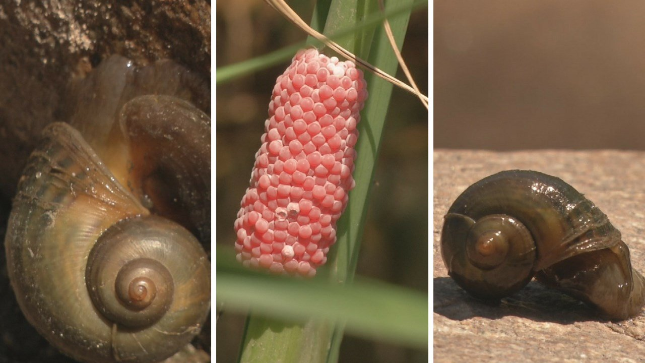 """Invasive """"Apple Snail"""" is hoped to be removed from the Salt River. (Source: 3TV/CBS 5 News)"""
