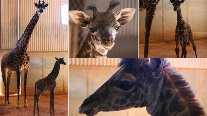 After nearly16,000 votes were cast, a winning name for the Phoenix Zoo's new baby giraffe has been announced. (Source: Phoenix Zoo)