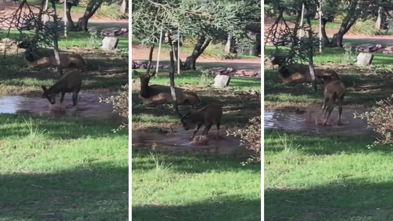 Baby elk finds fun playing in a puddle. (Source: Debera Butler)