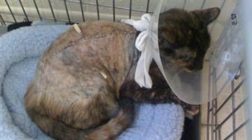 The sheriff's office warns that someone appears to be intentionally inflicting severe injuries to a number of domestic cats in the East Valley. By Jennifer Thomas