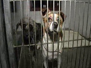 Maricopa County Animal Care and Control shelters are overflowing with Chihuahuas. By Jennifer Thomas