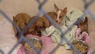About two dozen Chihuahuas were found inside a home where an elderly man had been dead for a while. By Alicia Barron