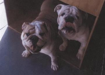 These English Bulldogs were stolen from a home on March 15. By courtesy Pima County Sheriff's Department