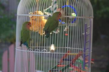 'Italo' is visited by two wild Lovebirds
