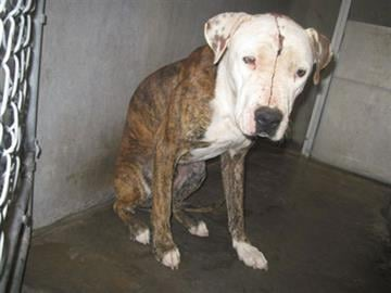 One of three dogs that attacked a 10-year-old boy in Arizona City By Jennifer Thomas