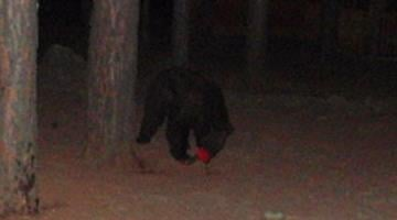 Arizona Game and Fish Department biologists believe this bear tearing apart a hummingbird feeder is the same one that attacked a Gilbert woman a few moments later. By Jennifer Thomas