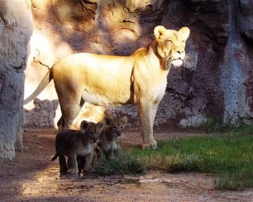 This is a big week in the lives of three African lion cubs born at Tucson's Reid Park Zoo. Meet Ayotunde, Azizi and Abuto! By Catherine Holland