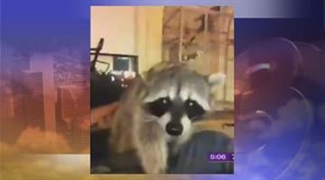 A Bullhead City man found out that keeping a raccoon as a pet is against the law. By Jennifer Thomas