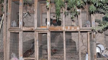 Police officers found 25 roosters and three hens in the backyard of a Chandler home. By Jennifer Thomas