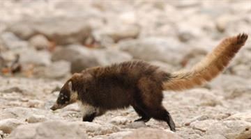 A coati in the wild By Jennifer Thomas