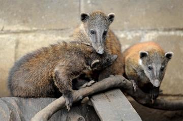 Coatis (Nasua nasua) are seen on November 6, 2009 at the Santa Fe Zoo, in Medellin, Antioquia Department, Colombia. AFP PHOTO/Raul ARBOLEDA (Photo credit should read RAUL ARBOLEDA/AFP/Getty Images) By RAUL ARBOLEDA