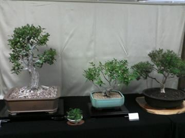 The Phoenix Bonsai Society celebrated its 50th anniversary by showcasing a variety of different bonsai trees. By Marceline Mcmacken