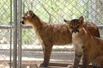 Cypress and Ash were recently moved into an outdoor enclosure at Scottsdale's Southwest Wildlife Conservation Center. By Mike Gertzman