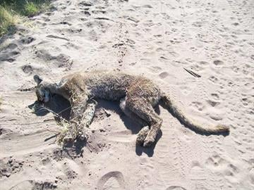 A mountain lion was killed in the Tonto National Forest after attacking a group of campers and their dog on May 4. By Andrew Michalscheck